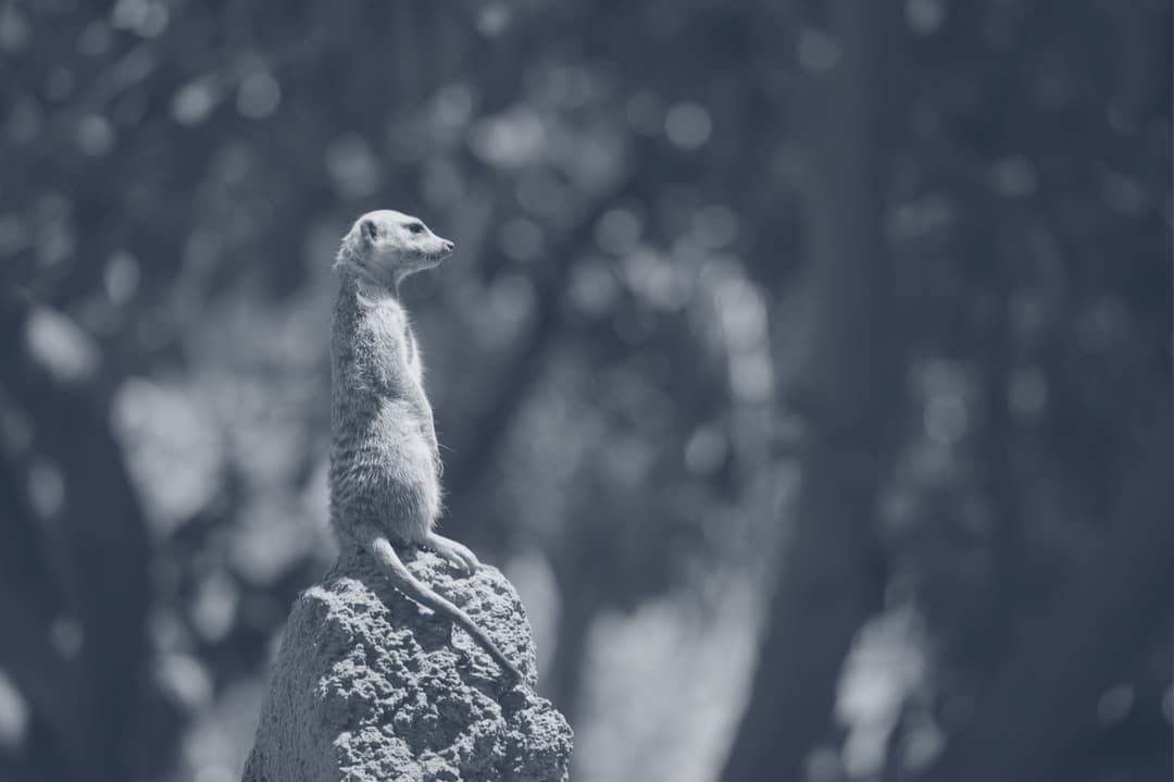 A mongoose standing on a dirt mound.